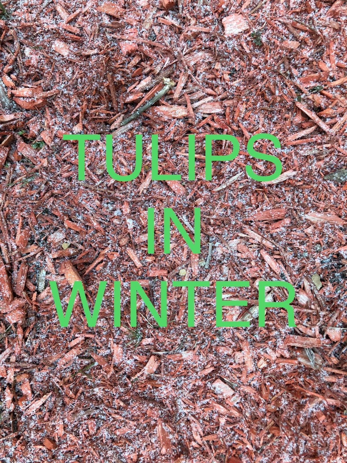 Growing Faith: 9 ~ Tulips inWinter